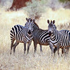 Zebras have excellent eyesight. The zebra's eyes are on the sides of its head, giving it a wide field of view. Zebras also have night vision, although not as advanced as that of most of their predators.