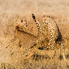 Cheetah Play 8648