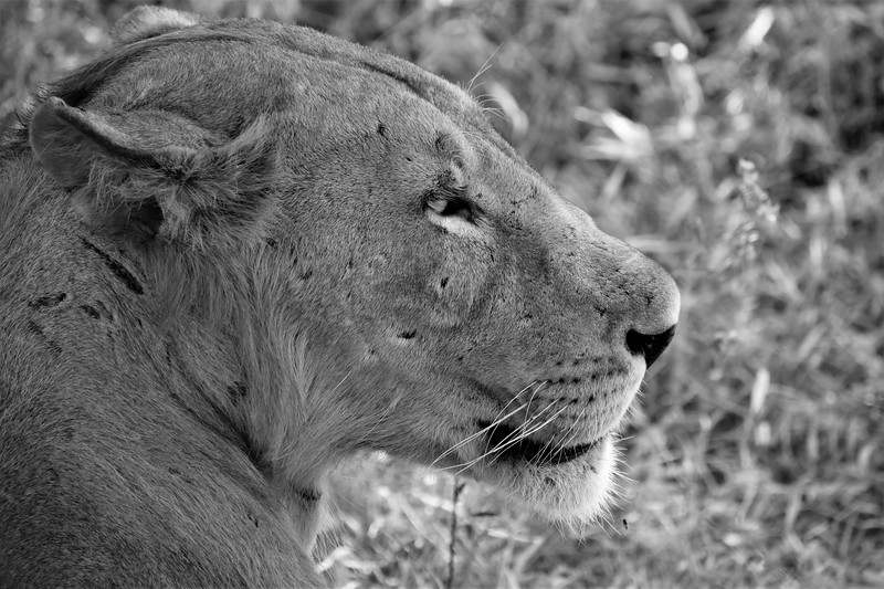 Lion's Gaze