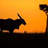 Silhouette of Kudu and a tree (Tragelaphus imberbis) at sunset in the grasslands of Masai Mara Wildlife Refuge in Kenya