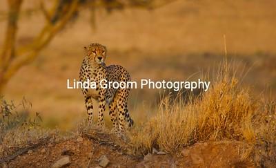 Cheetah Dawn