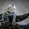 Leopard shake color