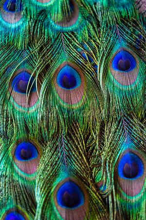 Peacock abstarcts
