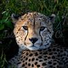 Cheetah portrait