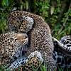 Leopard playtime