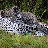 Mother and cub playing leopard
