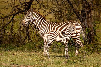 Zebras 4440