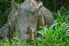 Resting wild White Rhino. Ziwa Rhino Sanctuary,  Uganda 2012