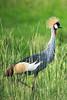 Crowned crane. Murchison Falls N P, Uganda 2012