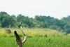 Pied Kingfisher along Victorian Nile. Murchison Falls N P, Uganda 2012