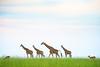 Giraffe. Murchison Falls N P, Uganda 2012