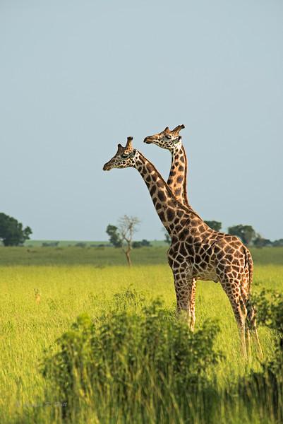 Giraffe, evening. Masai Mara, Kenya 2012