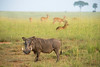 Warthog and antelope, morning. Murchison Falls N P, Uganda 2012