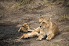 Lion cubs at play. Masai Mara, Kenya 2012