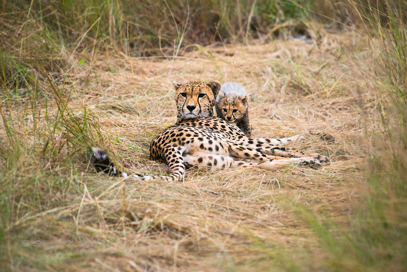 Young cheetah cub staying close by mother. Masai Mara, Kenya 2012