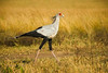 Strutting secretary bird with extended neck 'quills'. Masai Mara N P, Kenya 2012