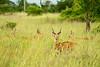 Feeding Uganda kob. Simlicki Wildlife Reserve, western Uganda 2012