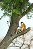 Patas monkeys grooming (& green viper). Murchison Falls N P, Uganda 2012