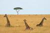 Late morning rest, three giraffe and lone acacia. Masai Mara N P, Kenya 2012