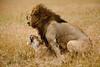Copulating lions at climax. Masai Mara N P, Kenya 2012