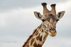 Inquisitive young giraffe, Masai Mara N P, Kenya 2012