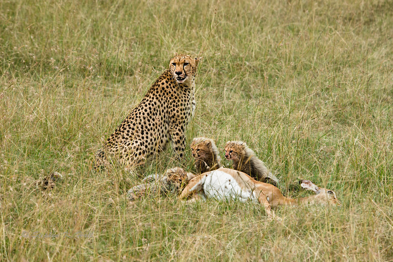 Fresh kill. Impala prey and feeding cheetah. Masai Mara N P, Kenya 2012