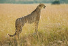 Cheetah on lookout. Masai Mara N P, Kenya 2012