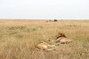Resting lion pair after mating. Masai Mara N P, Kenya 2012