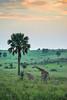 Feeding giraffe at sunrise. Murchison Falls N P, Uganda 2012