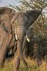 Charging mother elephant, Akagera N P, eastern Rwanda 2012