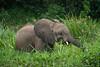 Young elephant feeding along Victorian Nile. Murchison Falls N P, Uganda 2012