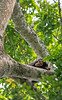 Baby chimpanzee resting in Aningeria altissima tree after morning feeding. KIbale Forest, Uganda 2012
