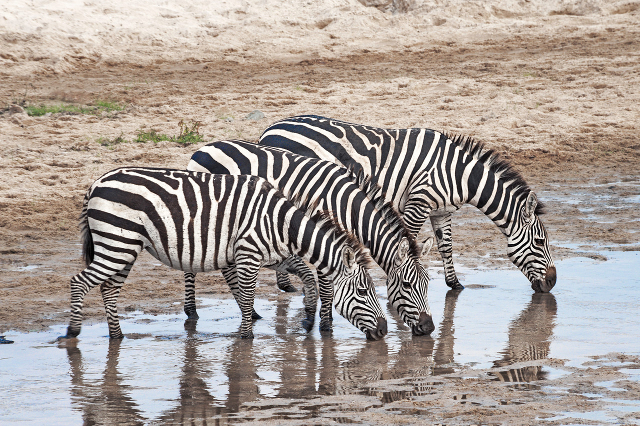 Burchell's zebra at watering hole