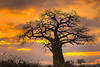 Sunrsie, Baobab tree