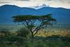 Acacia and Mount Kenya, early morning Samburu, Kenya