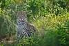 Male leopard, morning. Samburu, Kenya