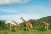 Reticulated giraffe browsing, early morning. Samburu, Kenya