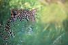 Alert leopard in tall grass observing potential prey (impala). Samburu, Kenya