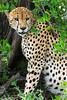 Cheetah resting in shade after morning impala kill, Buffalo Springs, Kenya