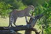Leopard climbing for vantage point, lookout. Samburu, Kenya
