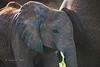 Young elephant at mother's side. Samburu, Kenya