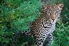 Young leopard emerging from his cover. Samburu, Kenya