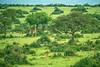 Woodland savannah, Rothschild's giraffe and Uganda kob