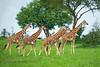 Young Rothschild's giraffe