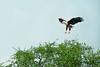 Fish Eagle, wings spread, alighting in tree