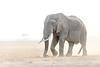 Bull elephant, dry season
