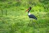 Strutting Stork (Saddle-billed)