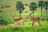 Uganda kob, early morning