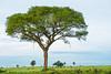 Acacia tree and jumping kob