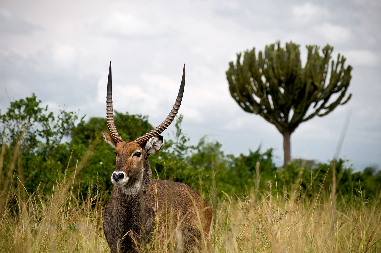 Waterbuck. Queen Elizabeth National Park, western Uganda